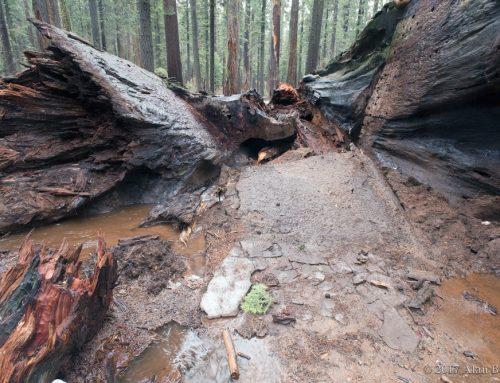 Pioneer Cabin Tree Falls